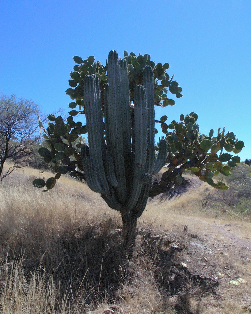 Two large cacti melded into one dos tipos de cactus hech for Tipos de cactus