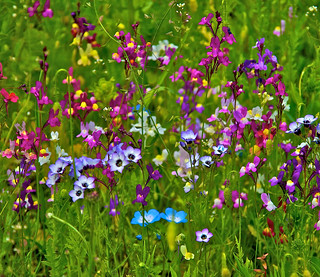 (1706) field of flowers / Blumenwiese | by unicorn 81