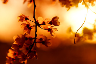 Sunset blossoms | by Anna Gorin