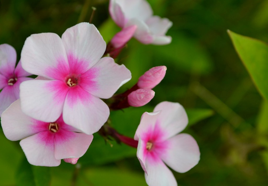 white flower with pink center | unfortunately, i don\'t know … | Flickr