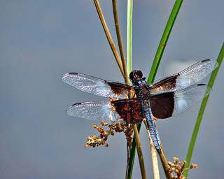 Dragonfly 7-11-12 (3) | by taxref