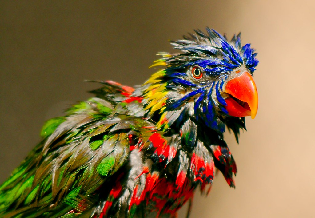 Rainbow Lorikeet_27