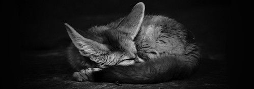 Sleeping Fennec Fox | by Schmoogly