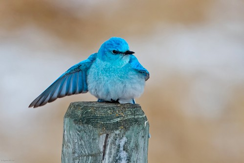 Mountain Bluebird Male | by Raymond Lee Photography