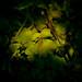 5. Aquilegia foliage