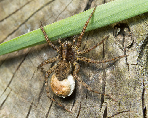 Female Wolf Spider & Egg Sac | by (James Clay) Boom-Stick