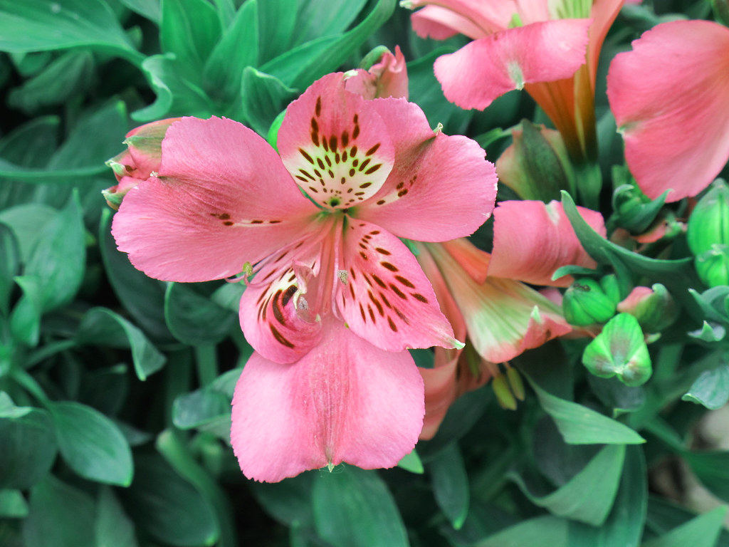 Inticancha Navajo Princess Lily Kentlands Spring Flowers Flickr
