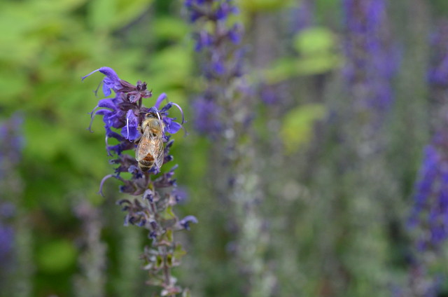 bee on agastache foeniculum flowers flickr photo sharing