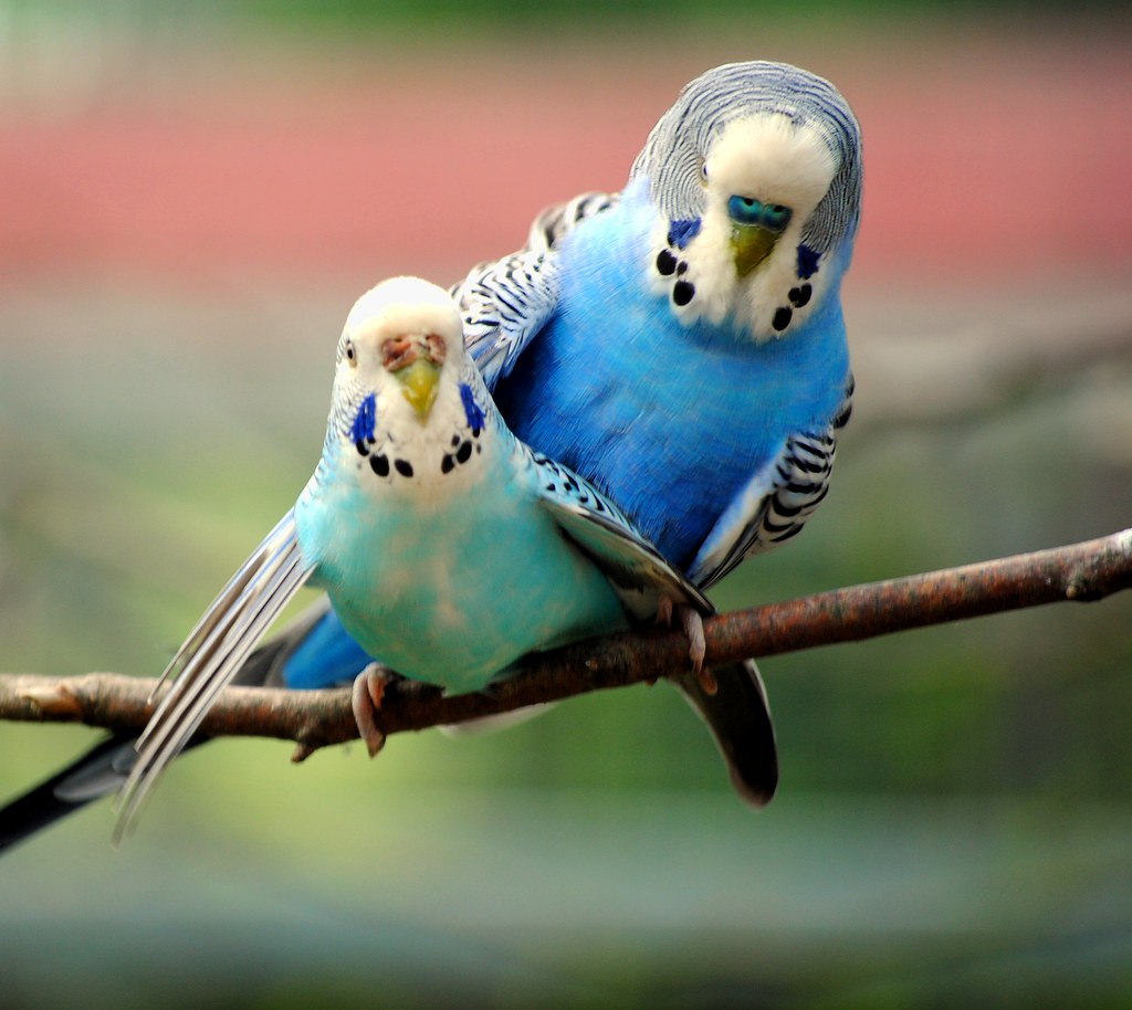 budgies in the mating time arniwoman flickr