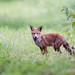 Red Fox (Vulpes vulpes) cub