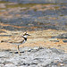 Little Ringed Plover at Oroklini 6 August 2011