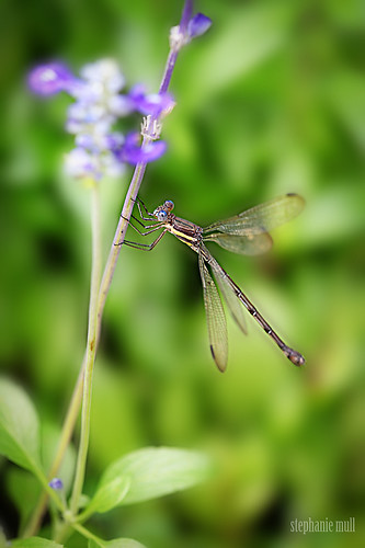 Dragonfly | by stephmull