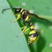 Vespa // Vespoid Wasp (Eumenes papillarius), male
