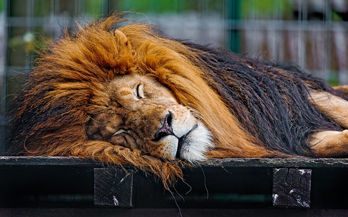 Sleeping Tom | by Tambako the Jaguar