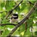 Black- capped Chickadee
