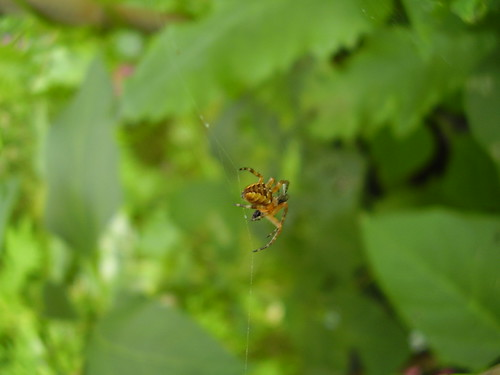 July2012 192 Tiny friendly spider | by monica_meeneghan