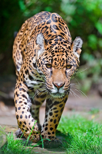 Bess walking and thinking | by Tambako the Jaguar