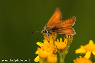 Essex Skipper (Thymelicus lineola) Explored | by gcampbellphoto