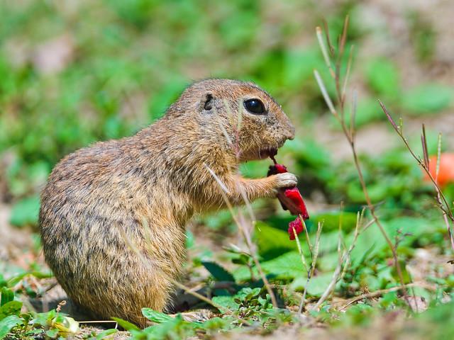 Ground squirrel eating