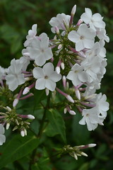 PHLOX paniculata 'White Pepper'