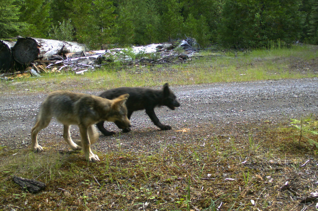 Roguepack pups 7 12 16 1 summer 2016 pup surveys by u s for Oregon fish and wildlife jobs