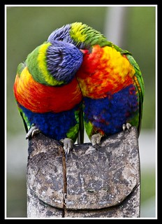 Rainbow Lorrikeets -4= | by Sheba_Also 12 Millon Views-40,000 uploads