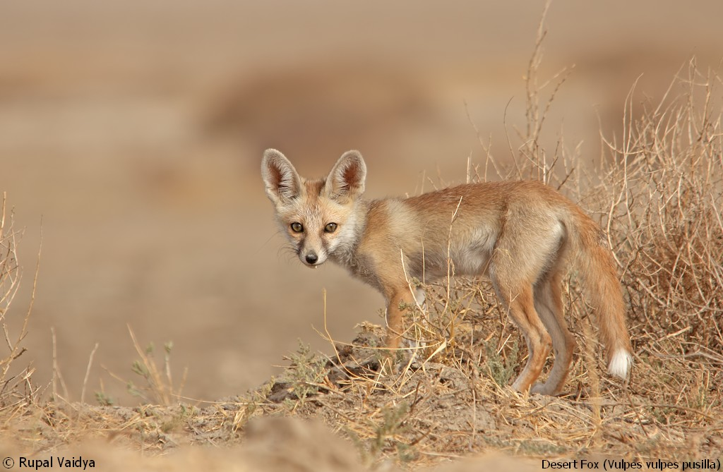 Foxes in the desert - photo#15