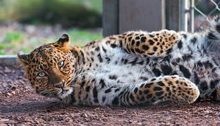 Rolling leopardess | by Tambako the Jaguar