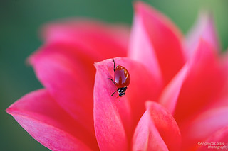 ladybug on dahlia | by angelicacarlos10