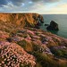 Sea Thrift at Bedruthan