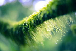 Dewy Moss | Mossy Dew | by colinbooks