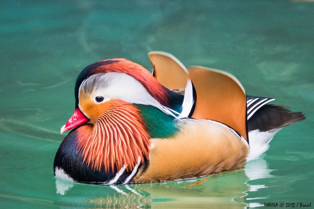 marreco mandarim aix galericulata mandarin duck flickr