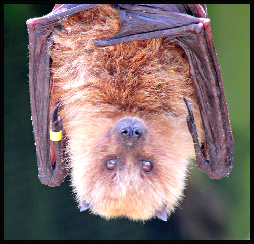 Rodrigues Fruit Bat (Pteropus rodricensis) - Endangered (8) | by Kevin Pendragon
