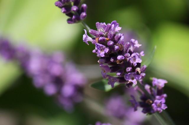 echter lavendel lavandula angustifolia juli 2012 canon. Black Bedroom Furniture Sets. Home Design Ideas