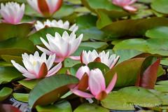 Bloeiende waterlelies