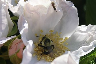 Small Bumble Bee And Small Solitary Bee On Rosa Rugosa Alba Rose | by Chrisser