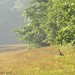 (18-12) We have three wild turkey mama hens living in the hayfield