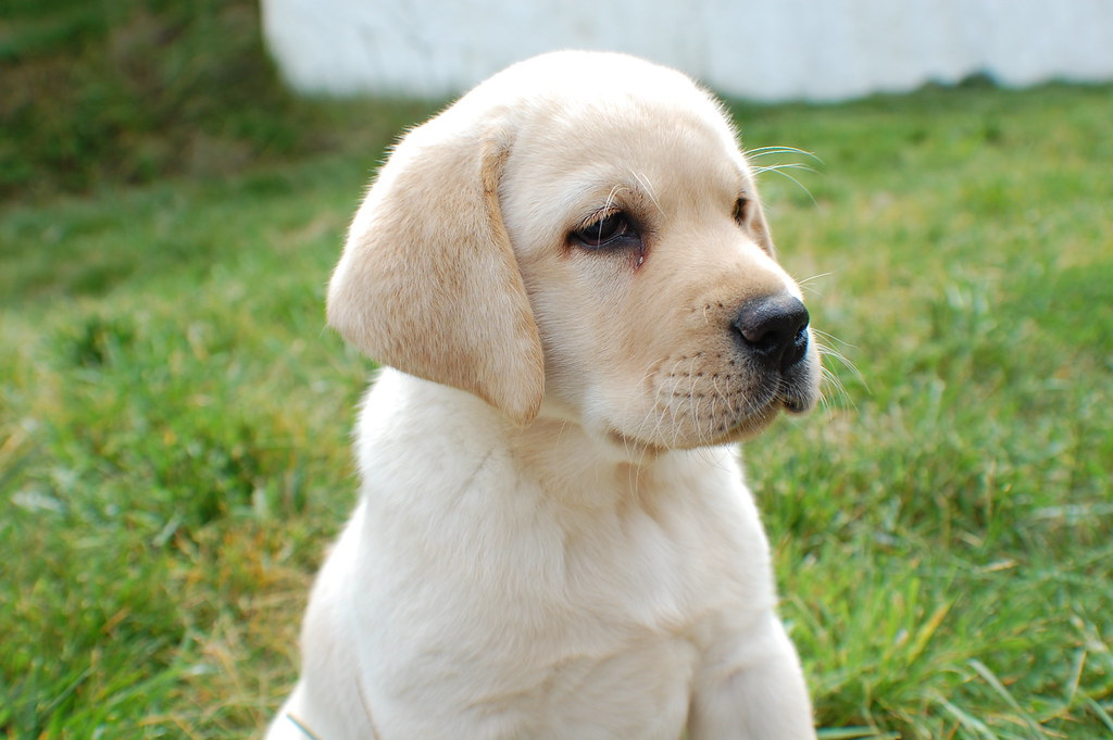 Lab Puppy Weight Chart: Yellow lab puppy | A family member of mine just got a new adu2026 | Flickr,Chart