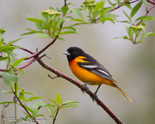 Baltimore Oriole | by claybuster1(doing good just very busy)