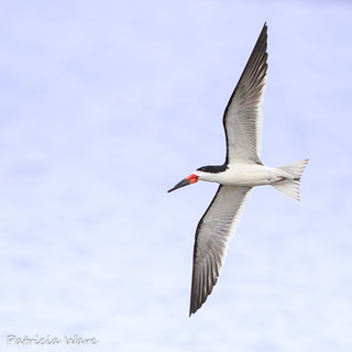 Banking Black Skimmer | by Patricia Ware