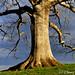 White Oak Tree Storm Clouds