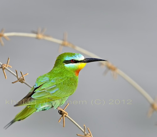 Blue-cheeked Bee-eater | by Birds of Kuwait Bay