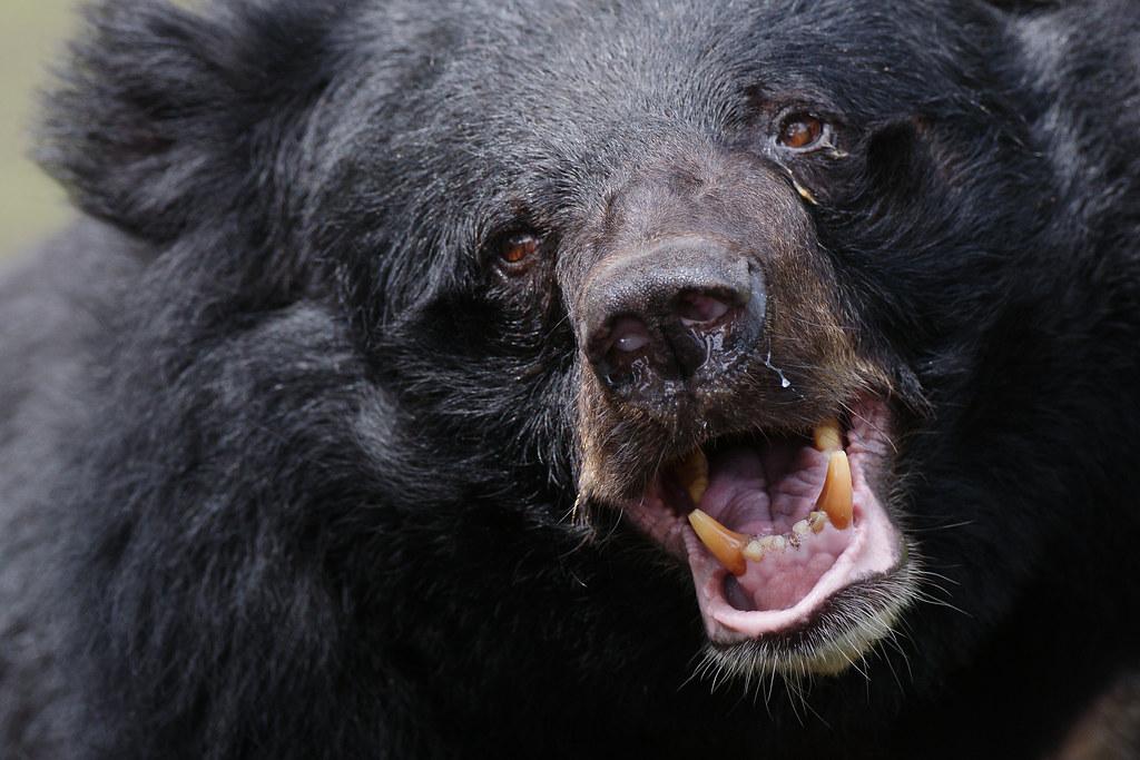 Formosan black bear most representative wildlife