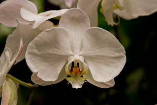 White Orchid | by Swami Stream