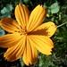 Flowers - Roadside Yellow