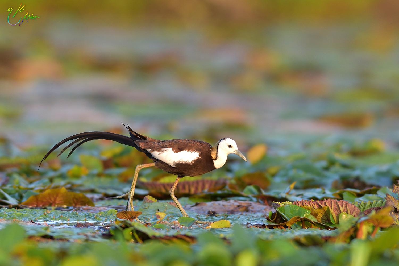 Pheasant-tailed_Jacana_2130
