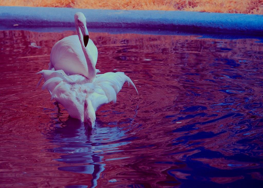 Flamingo_17