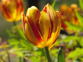 red and yellow tulip | by alfred ng (photos and paintings)