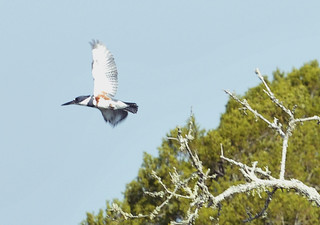 Female Belted Kingfisher in flight | by wfsu.org