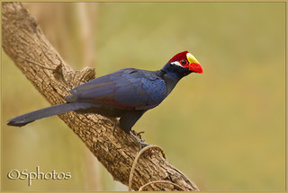 Violet Turaco | by Sphotos Photography